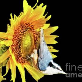 Close up of Nuthatch on Sunflower by Janette Boyd