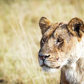 Closeup Lioness - Susan Schmitz