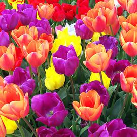 Debra Orlean - Closeup of Multi Colored Tulips