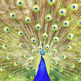 Closeup of Peacock Displaying Train - Susan Schmitz