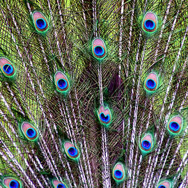 Closeup of Peacock Tailfeathers by Debra Orlean