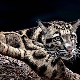 Clouded Leopard by David Millenheft