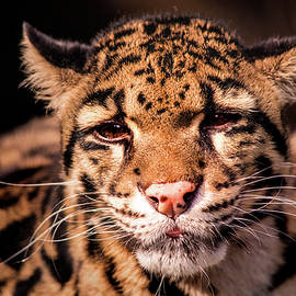 Clouded Leopard by Don Johnson