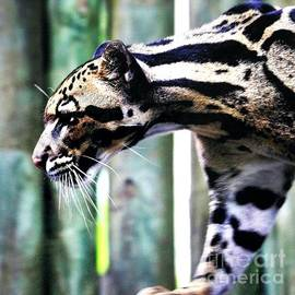 Diann Fisher - Clouded Leopard Profile Square