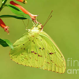 Clouded Sulphur Butterfly Macro by Kathy Baccari