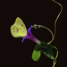 HH Photography of Florida - Cloudless Sulphur Butterfly And Morning Glory