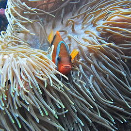 Clown Fish by Michael Peychich