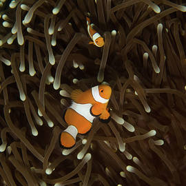 Clownfish Pair by Brent Barnes