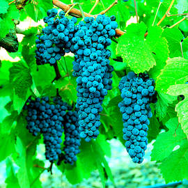 Cluster of wine grapes by Jeff Swan