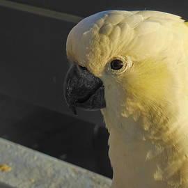Alexey Dubrovin - Cockatoo in golden hour light