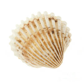 Elena Elisseeva - Cockle shell
