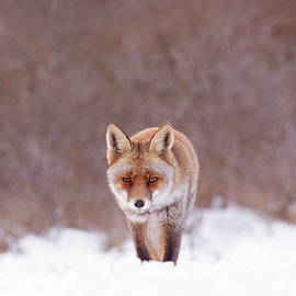 Roeselien Raimond - Cold Encounter - Red Fox in the Snow