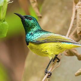 Collared Sunbird by Morris Finkelstein