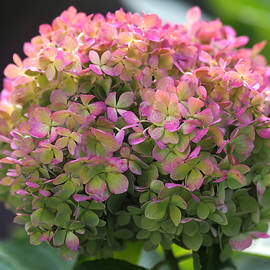 Rona Black - Color-changing Little Lime Hydrangea