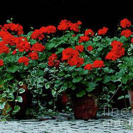 Carol F Austin - Red Flower Geraniums Wall Art