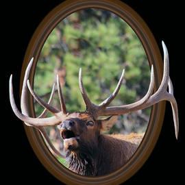 Colorado Bull Elk by Shane Bechler
