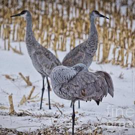 Colorado Snow Cranes