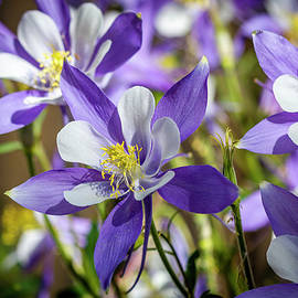Colorado State Flower Blue Columbines by Teri Virbickis