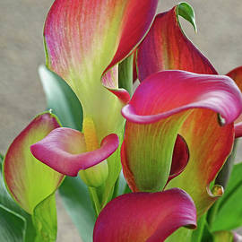 Larry Nieland - Colorful Calla Lillies