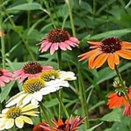Bruce Bley - Colorful Cone Flowers