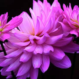 Dan Myers - Colorful Dahlia