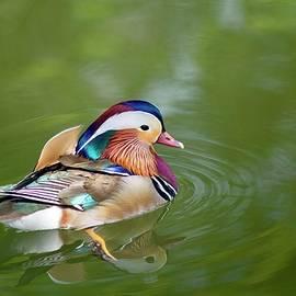 Colorful mandarin duck 5 by Lynn Hopwood