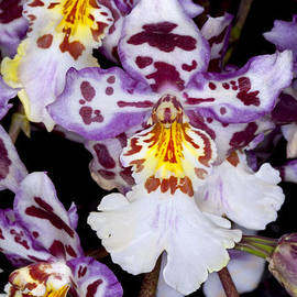 Anthony Totah - Colorful Orchid