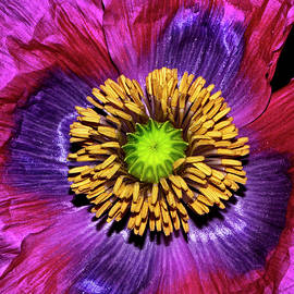 Colors Of Nature - Poppy Center 002 by George Bostian