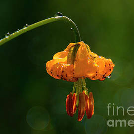 Columbia Lily with Dew by Mike Dawson