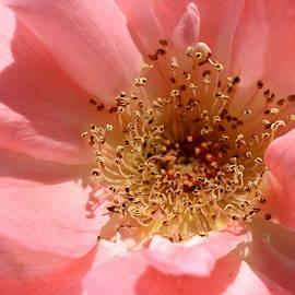 Columbia Rose by Joseph Skompski