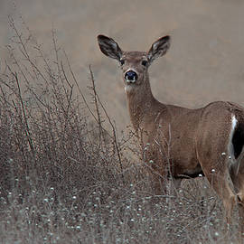 Floyd Hopper - Columbian Black tailed Deer