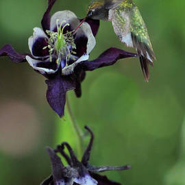 Columbine and Hummingbird by Sandra Huston