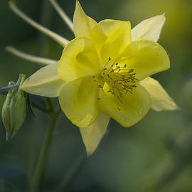 Columbine Bloom  by Saija  Lehtonen