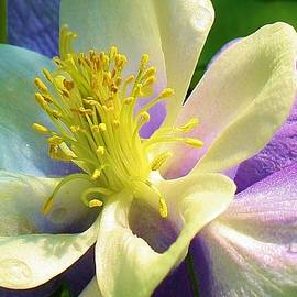 Columbine Close Up by Bruce Bley