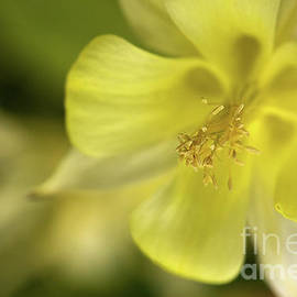 Columbine in Yellow by Liz Alderdice