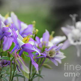 Columbine Revery by Michele Hancock