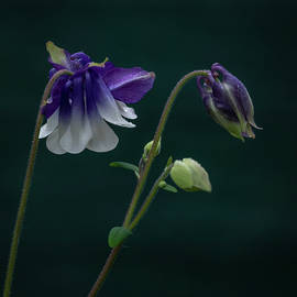 Columbine Stages by Jean Noren