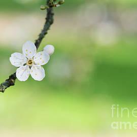 Cherry Plum Blossom - Tim Gainey