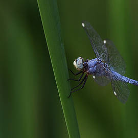 Comanche Skimmer Dragonfly on green  by Ruth Jolly