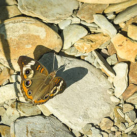 Common Buckeye by Jack R Perry