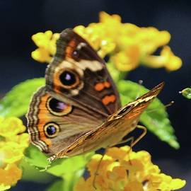 Common Buckeye On Flower by Cynthia Guinn