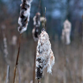 Common cattail 1 by Jouko Lehto