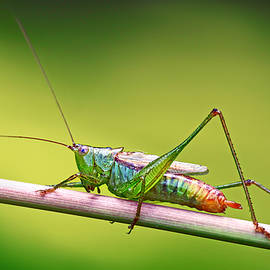 Carolyn Derstine - Common Meadow Katydid