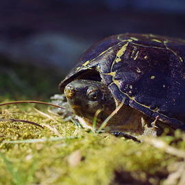 Aaron Rushin - Common Musk Turtle