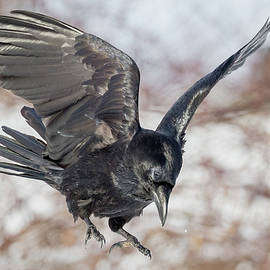 Common Raven by Bill Wakeley