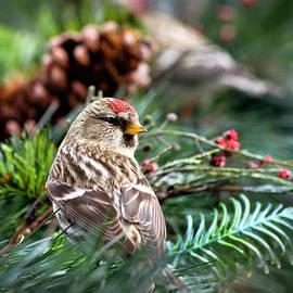 Christina Rollo - Common Redpoll Bird In Bush