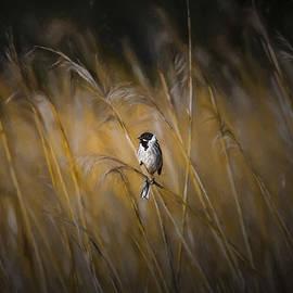 Leif Sohlman - Common reed bunting nov