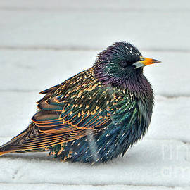 Audie T Photography - Common Starling