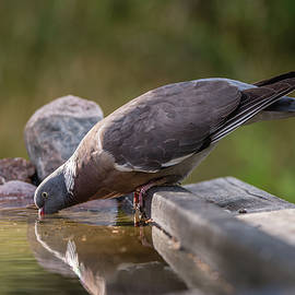 Common Wood Pigeon drinking at the waterhole by Torbjorn Swenelius