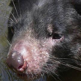 Concentrating Tasmanian Devil by Margaret Saheed